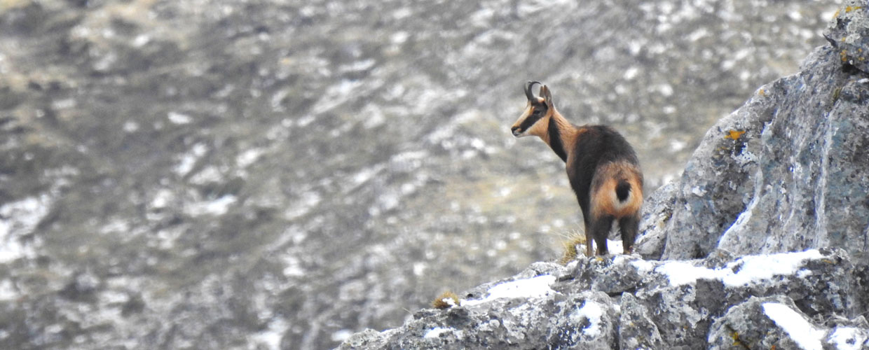 Cantabrian Chamois in Spain