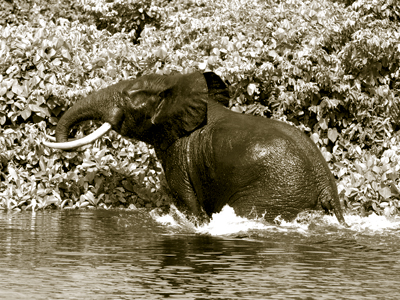 Forest Elephant hunt in Cameroon