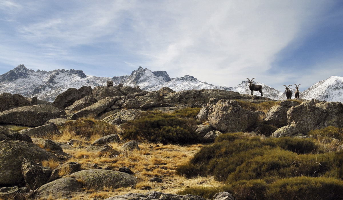 Gredos Ibex trophy in Spain with snow and mountains in the background