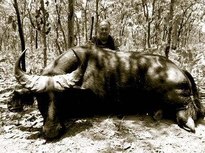 Savannah Buffalo or Western Buffalo in Cameroon